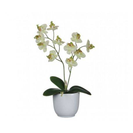 Orhidee Phalaenopsis in Ghiveci